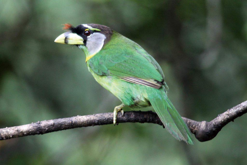 マレー半島の高原を代表する鳥のひとつアカフサゴシキドリ