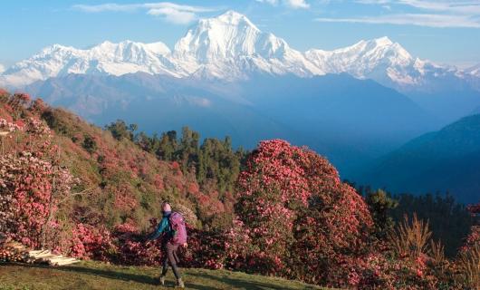 シャクナゲ咲く 春のネパール・ヒマラヤ・トレッキング