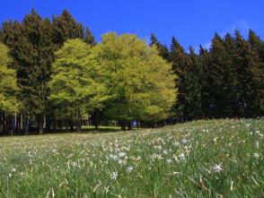 一面にナルシス咲くラヴォー地区