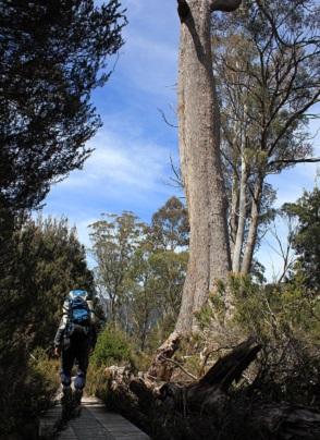 ユーカリの巨木を見ながら
