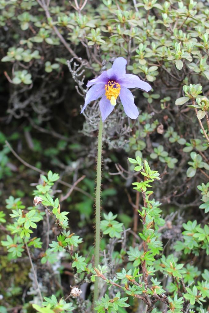 ブータンの国花・メコノプシス ホリドゥラ
