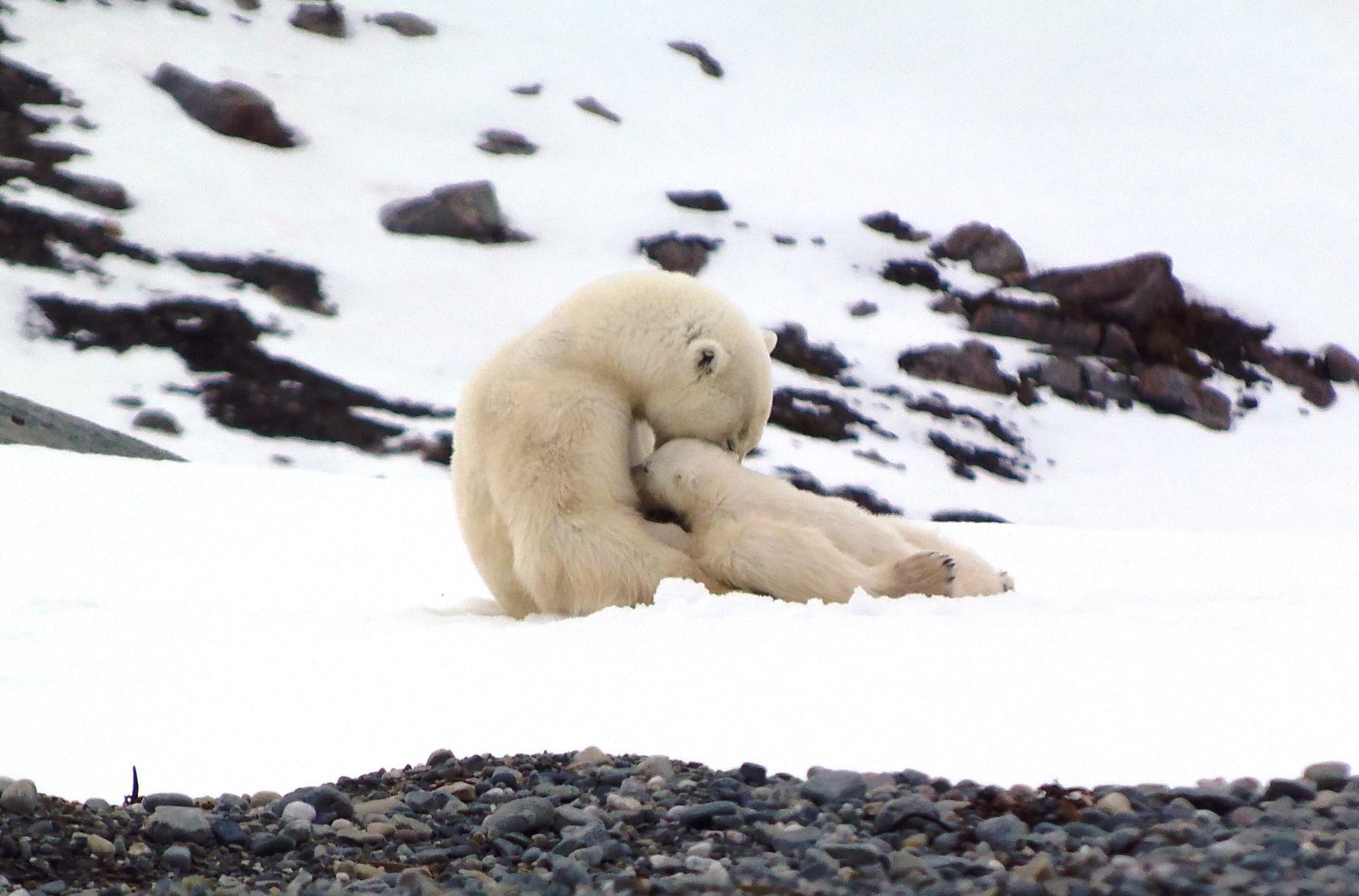 授乳中のホッキョククマに遭遇
