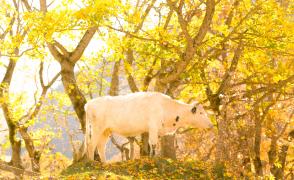 黄金色に色づいた森で牛が草を食んでいた
