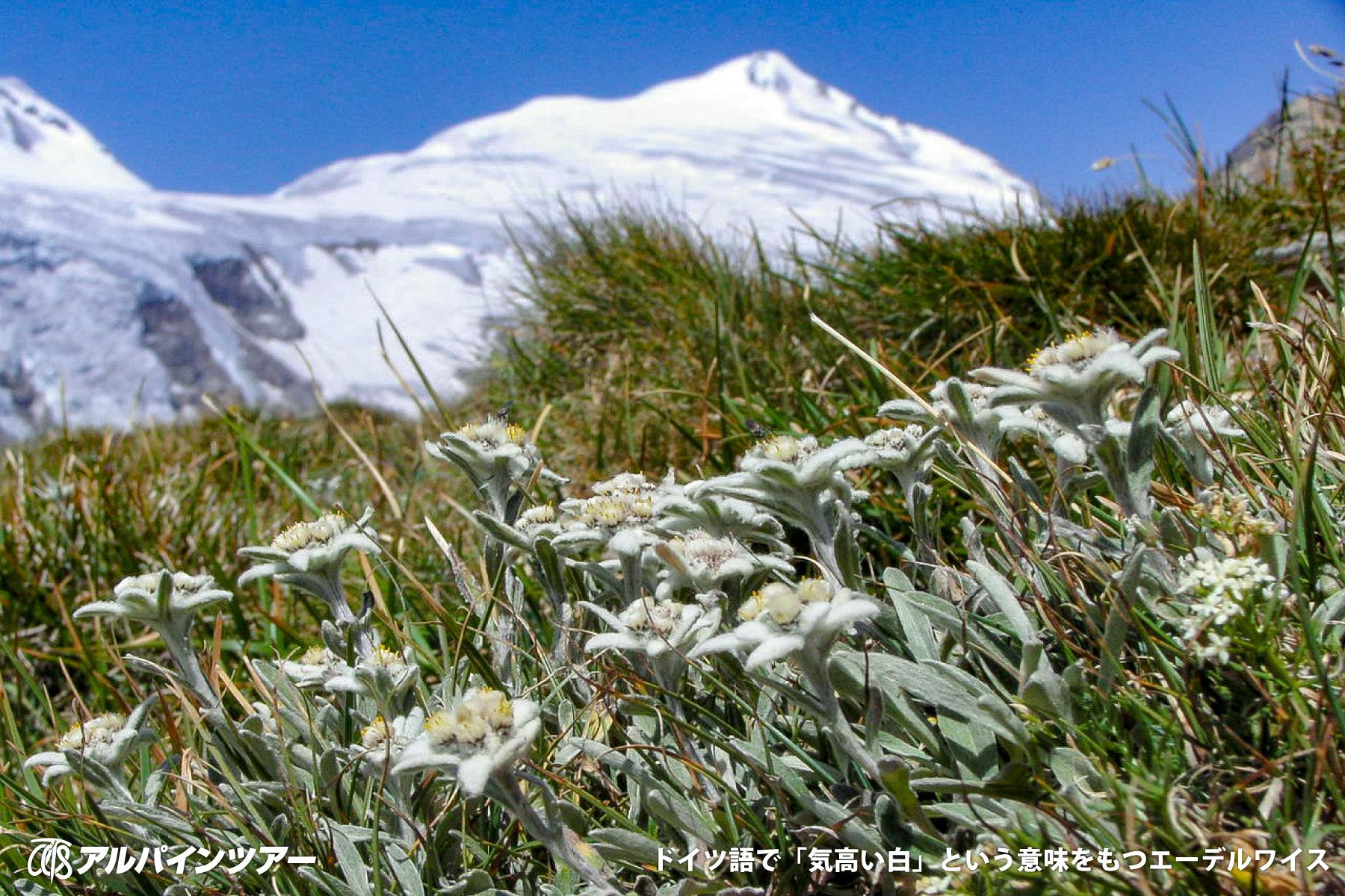 【今日の花】 エーデルワイス(東チロル)