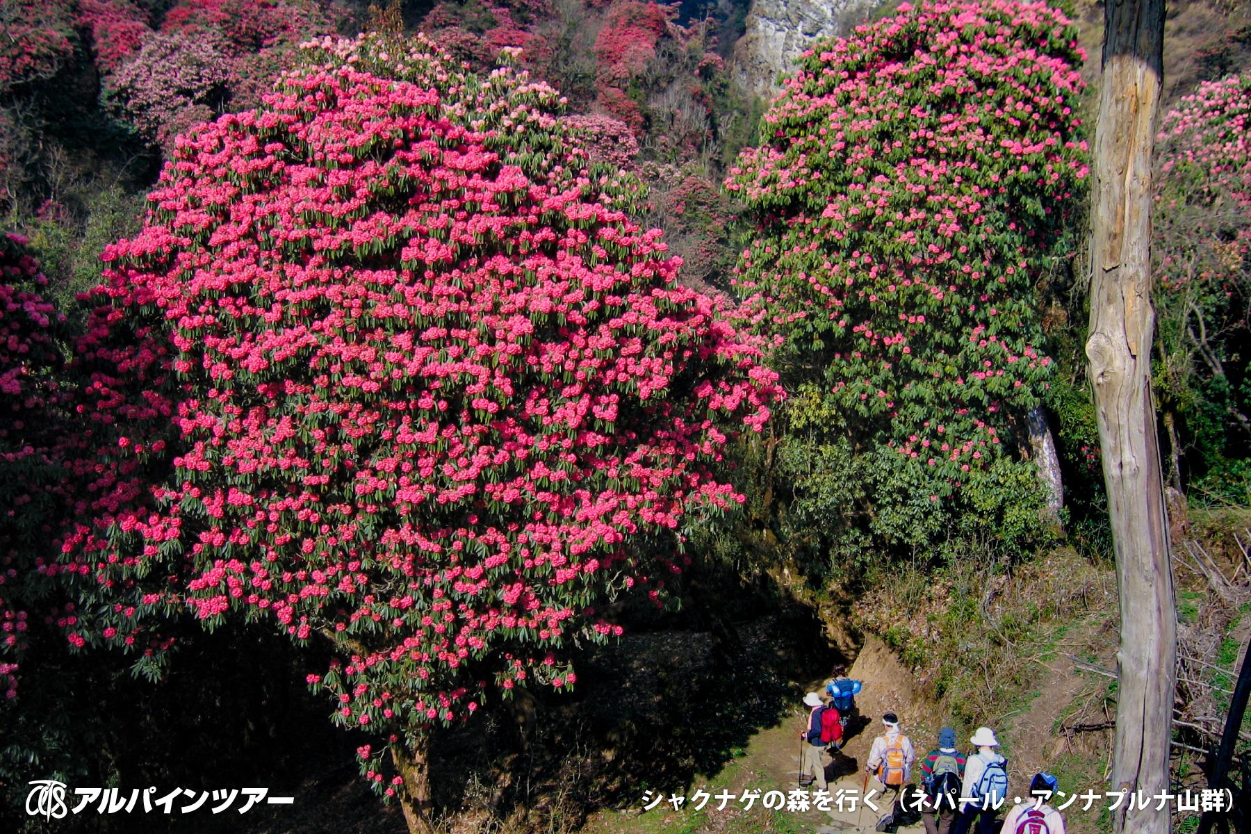 【今日の花】 ヒマラヤを彩るシャクナゲ(ネパール)