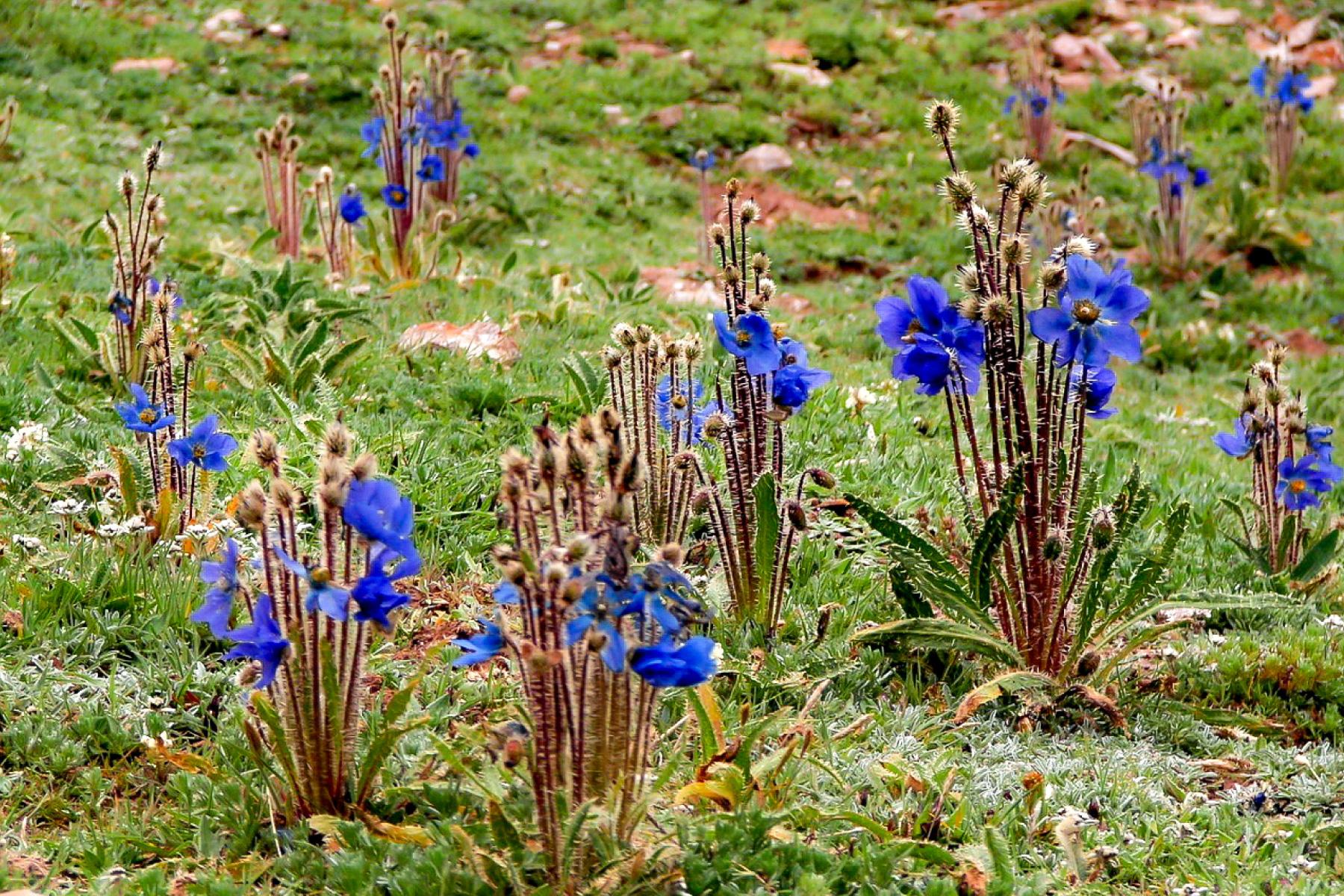 【今日の花】 青いケシ(メコノプシス・ホリドゥラ)