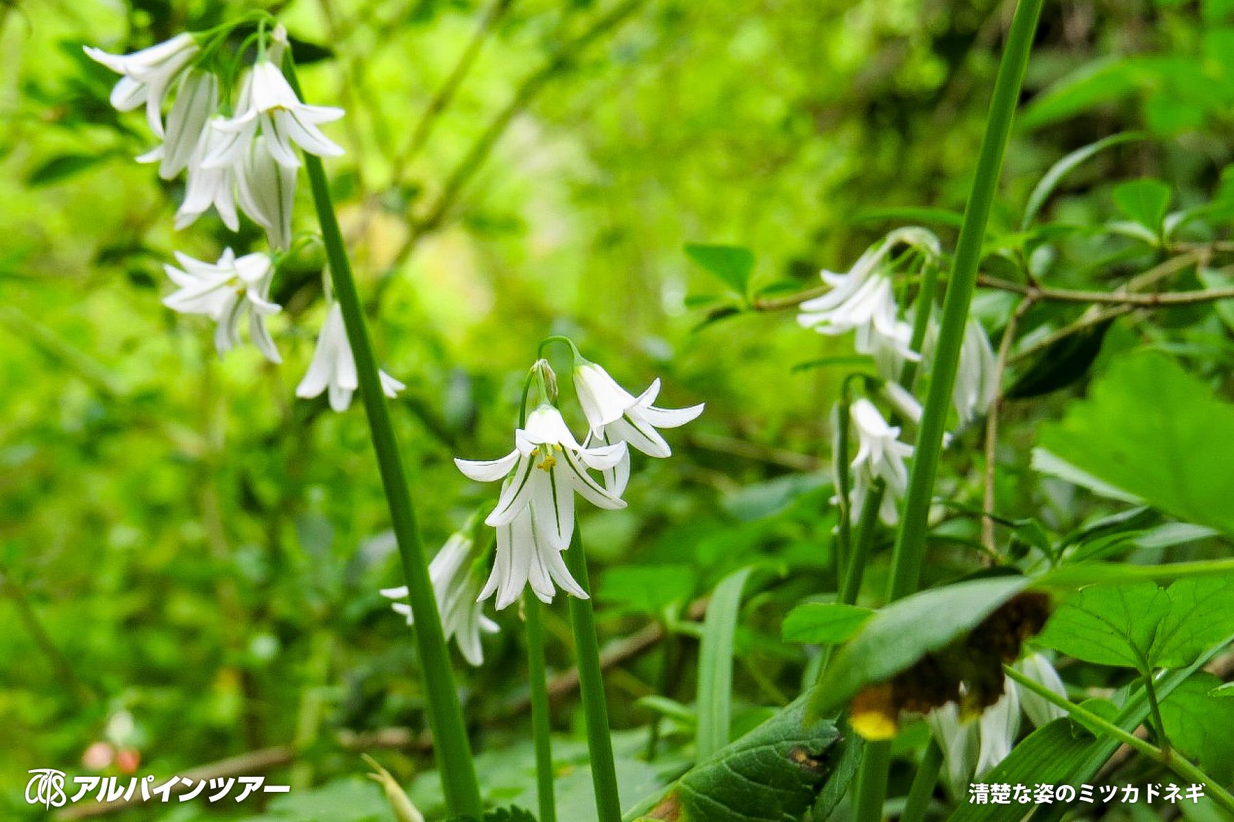 【今日の花】 ミツカドネギ(南フランス)