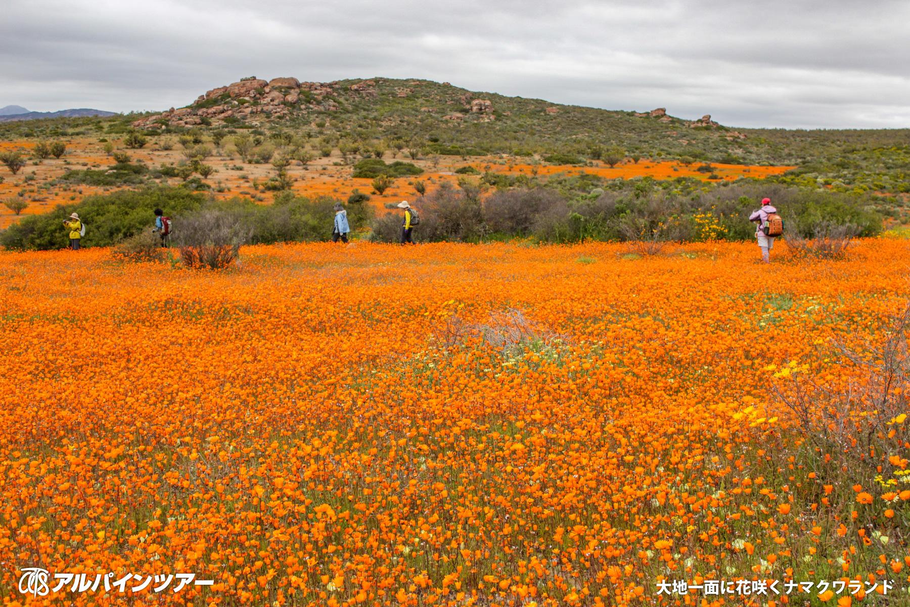 【今日の花】 デイジー(南アフリカ・ナマクワランド)