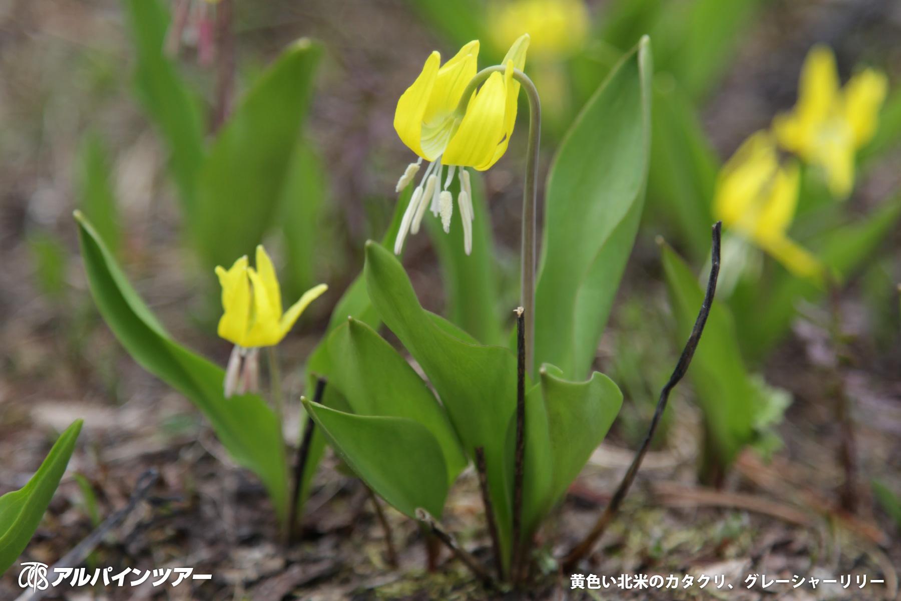 【今日の花】 グレーシャー・リリー(カナダ)
