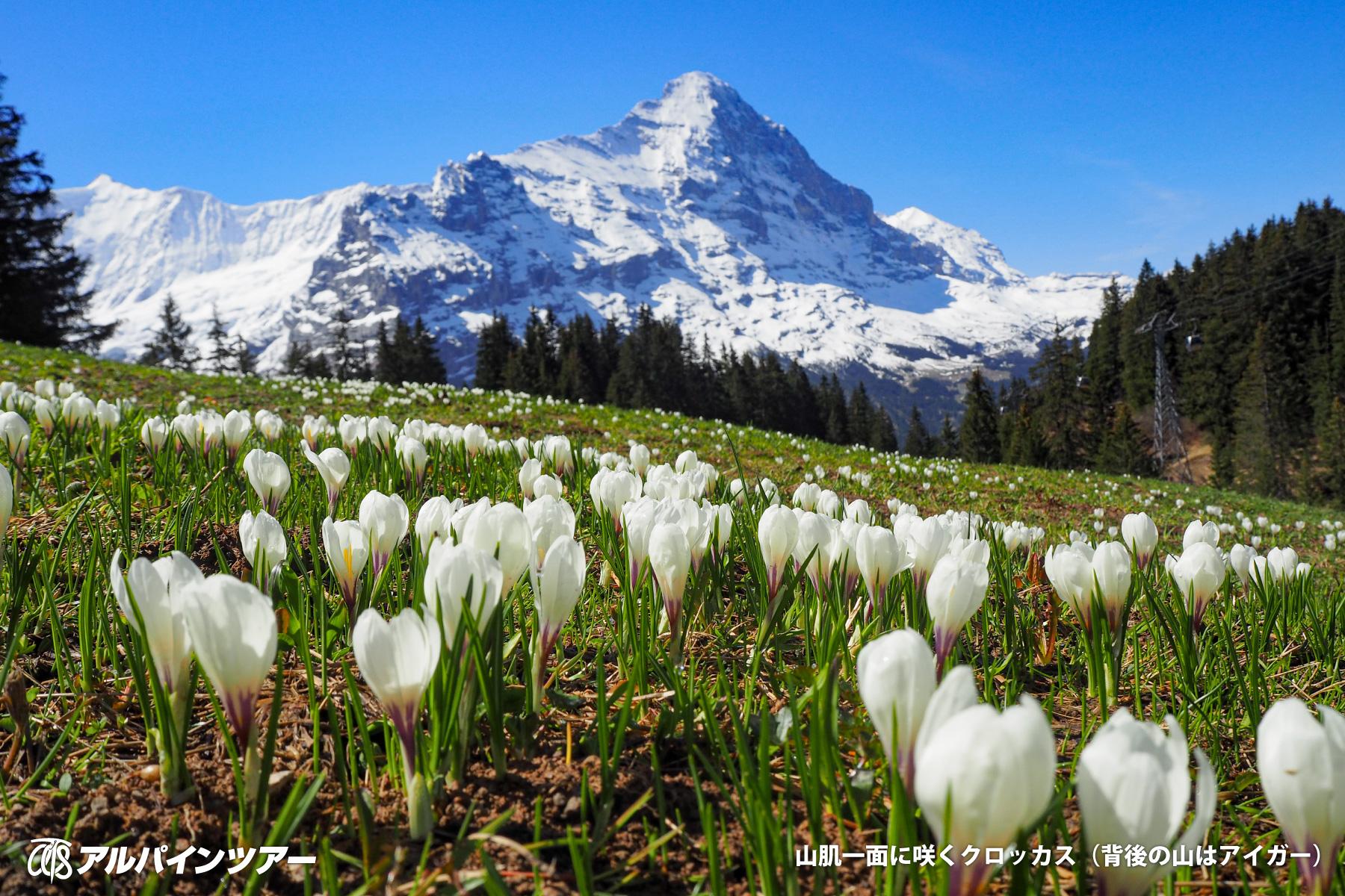 【今日の花】 クロッカス(スイス)