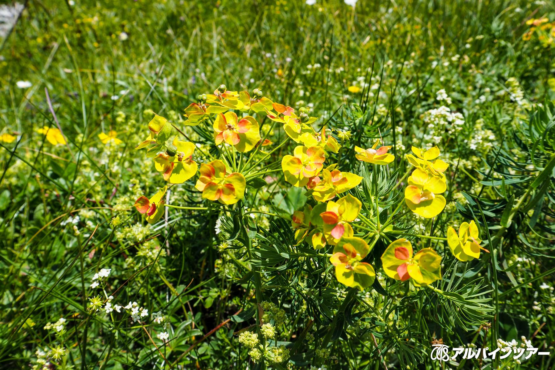 【今日の花】 マツバトウダイ