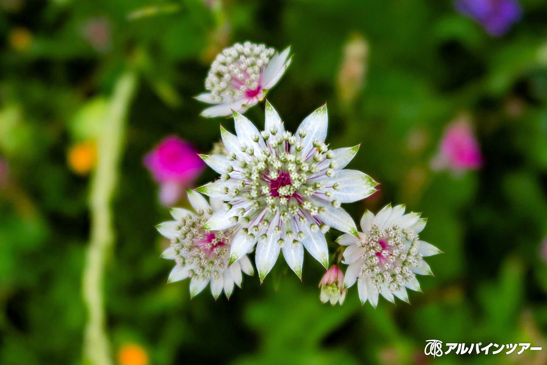 【今日の花】 アストランティア・マヨール