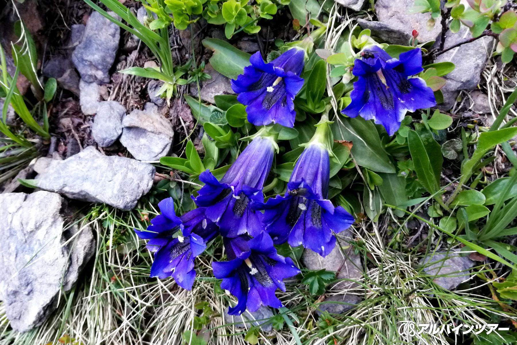 【今日の花】 ゲンチアン