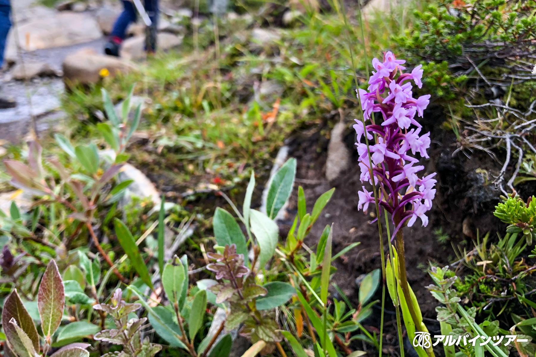 【今日の花】 テガタチドリ