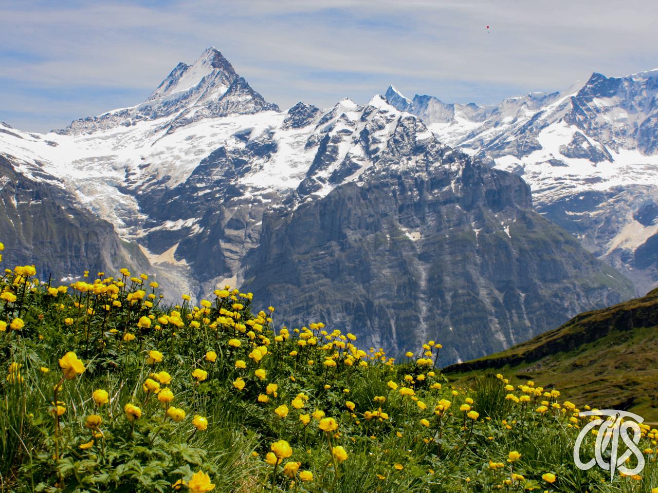 山麓一面に咲くタマキンバイ