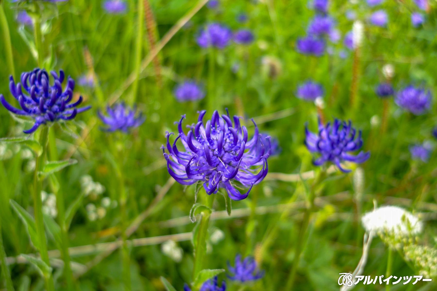 【今日の花】 タマシャジン