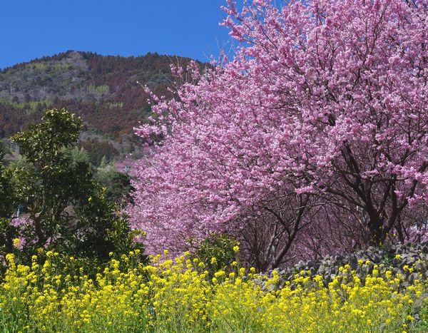 【大阪発着企画】高知・桑田山と馬路村に泊まる雪割桜と龍馬脱藩の道、千本山 3日間