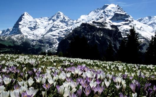 【催行間近・大募集中】5月14日出発 一面に花々が咲き誇るスイス・アルプス フラワー・ハイキング 8日間