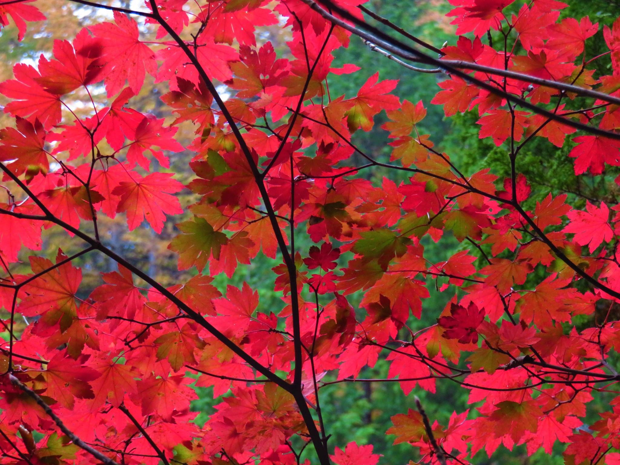 森の案内人と歩く<br>錦秋のカエデを楽しむハイキング<br>三頭山の森ハイキング 日帰り