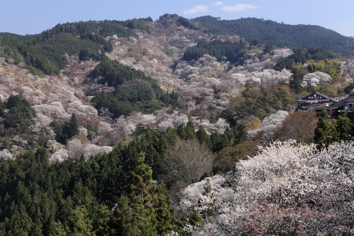 春爛漫!吉野千本桜ハイキングと<br>高野三山&女人道巡礼巡り 3日間