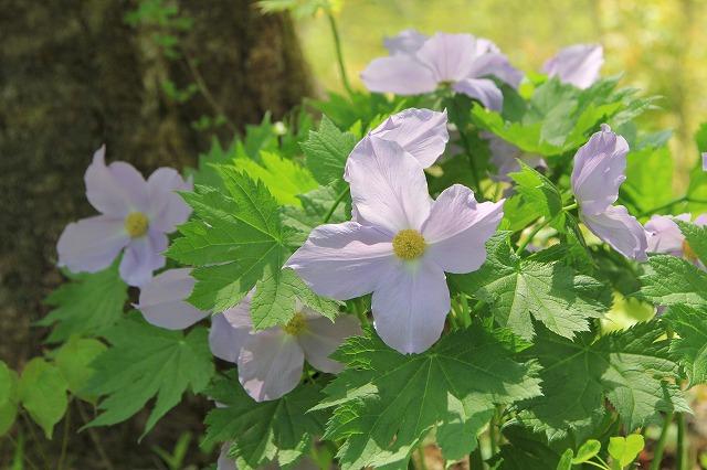 【花の観察会】  津軽半島 本州北端の植物たち 3日間