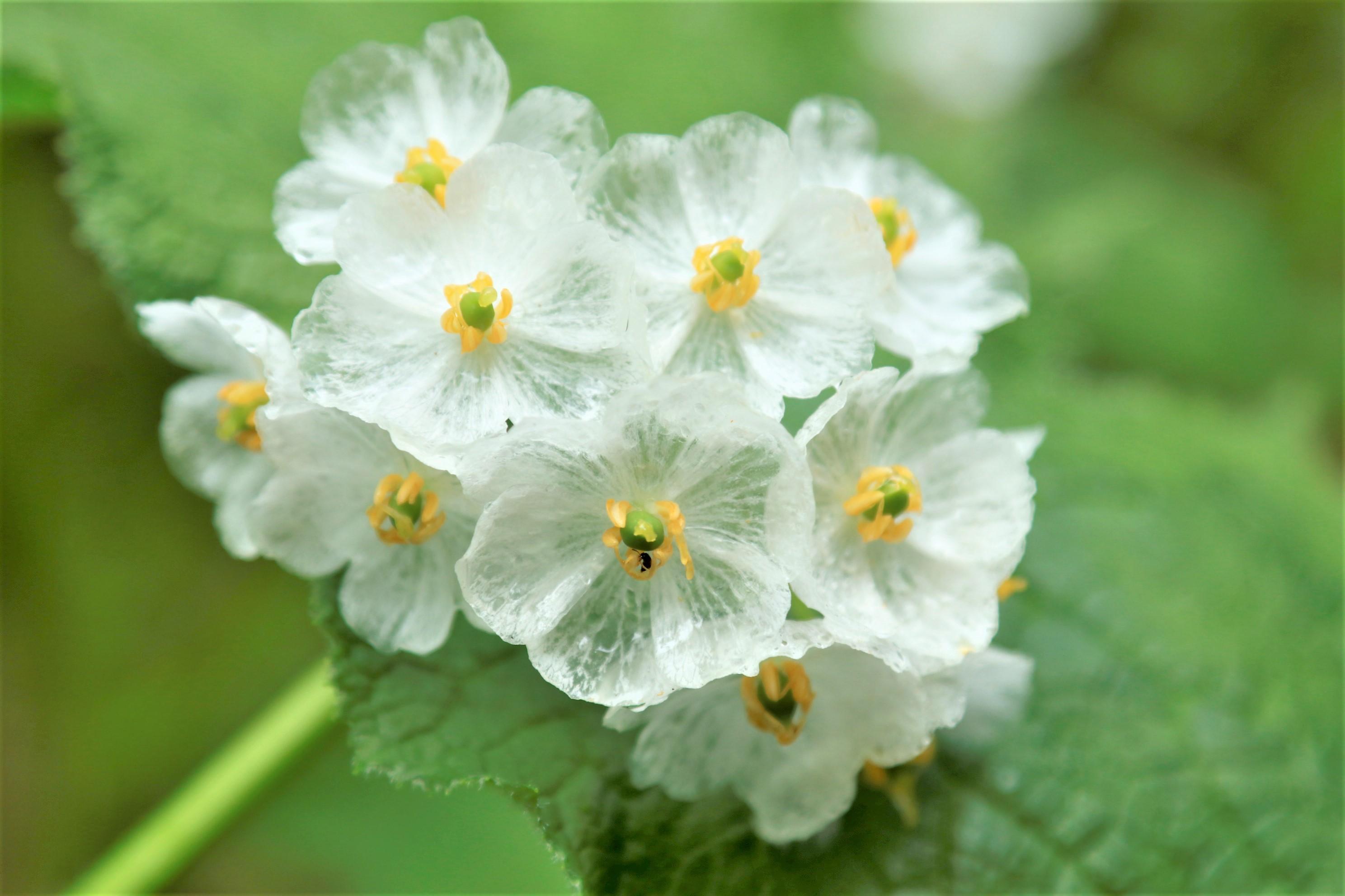 【花の観察会】 白馬 楽に楽しむ高山植物とクリスタルサンカヨウ 3日間