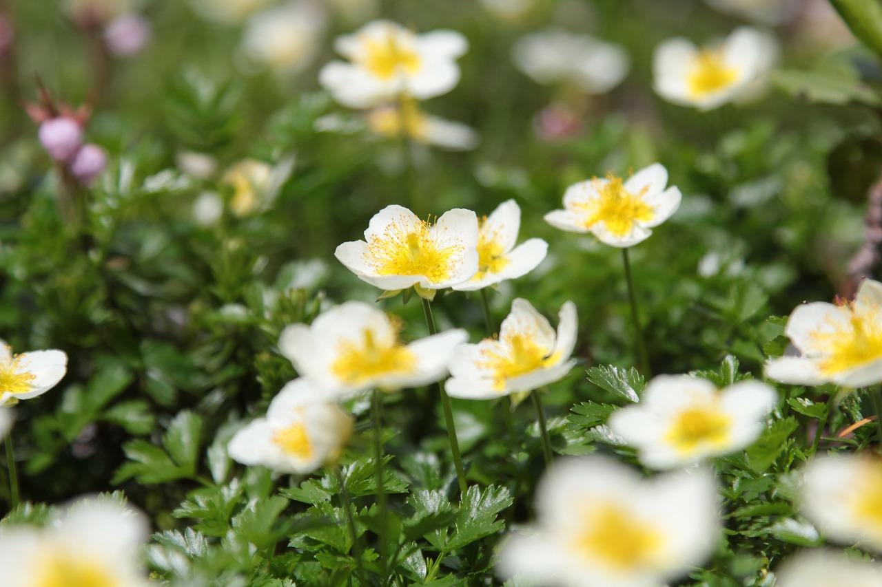 【花の観察会】 雨竜沼湿原と姿見高原 北国の植物の生態 3日間