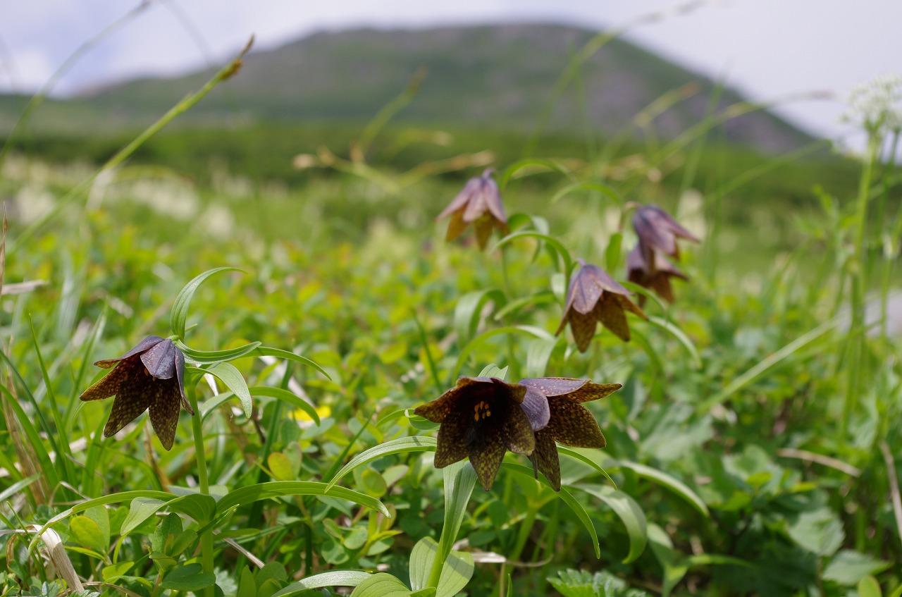 高山植物の宝庫 山中2泊で満喫<br>花の白山 3日間