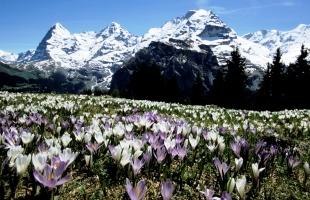 ミューレン付近から見るベルナー・オーバーラント三山と咲き誇るクロッカス