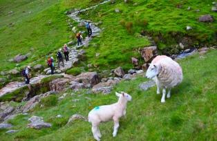 登山者を見守る羊たち