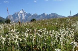 エーデルワイスが咲く花の稜線