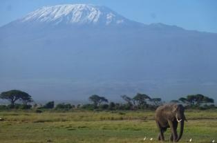 堂々と聳え立つキリマンジャロを背景に、サバンナを悠々と歩くアフリカゾウの群れ