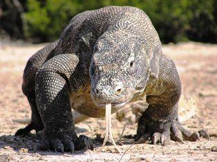 世界最大のトカゲ「コモドドラゴン」