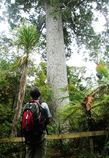 ワイタケレの森で出会ったカウリの巨木(7日目)