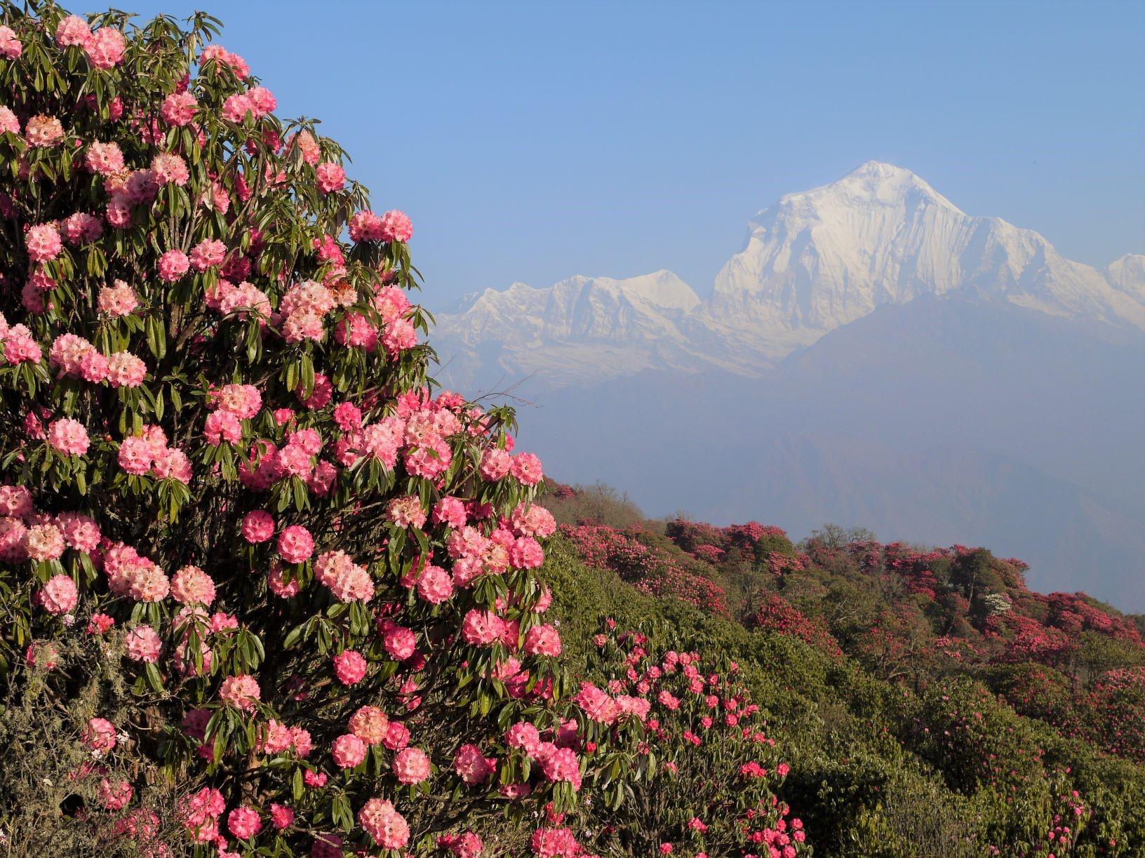 春のプーン・ヒルからのダウラギリⅠ峰。山肌をシャクナゲの花が彩る(4日目)