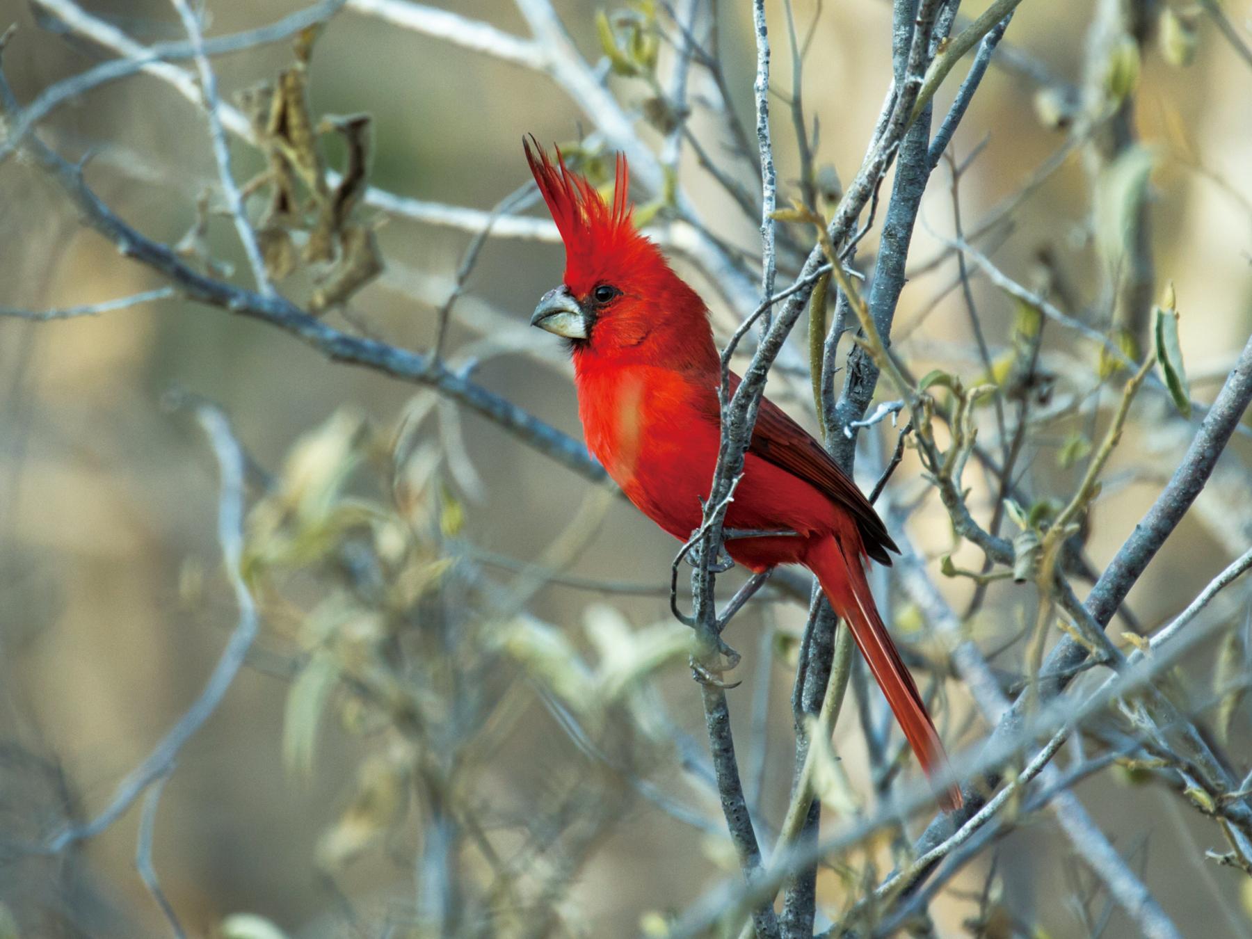真紅色のミナミショウジョウコウカンチョウの雄
