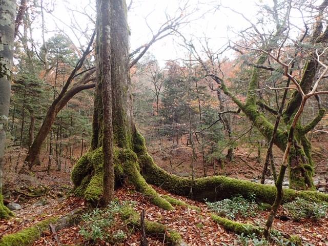 原生の森・西大台