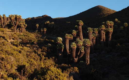 奇妙な高山植物ジャイアントセネシオ(キク科)