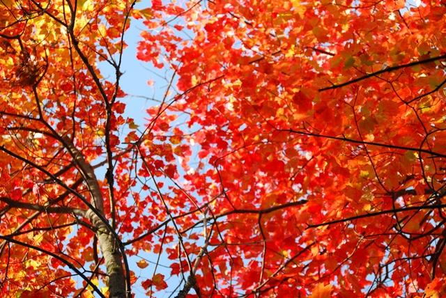 陽の光にあたって輝くメープルの葉