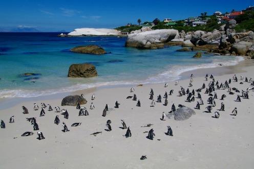 ボルダーズビーチのケープペンギン