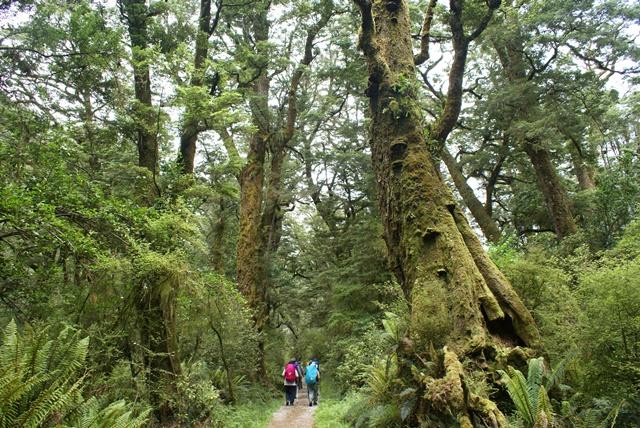 ブナ、シダ、コケが美しい、緑一色のミルフォードの原生林