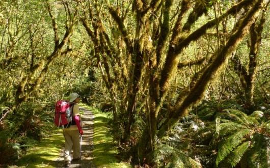 樹々がトンネルのように頭上を覆う(ミルフォード・トラック3日目)