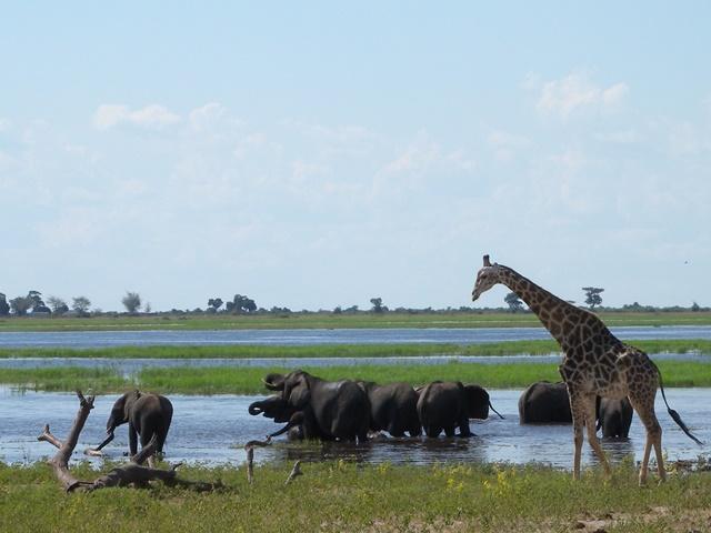 水辺に集まるキリンとゾウの群れ(チョベ国立公園)