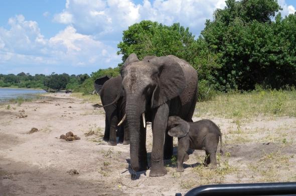 ゾウの楽園、チョベ国立公園のゾウの親子
