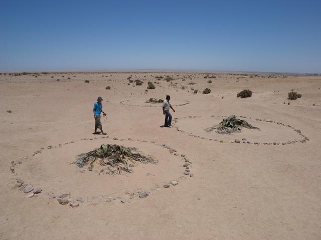 砂漠に生きる驚異の植物ウェルウィッチア