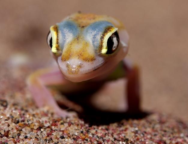 ナミブ砂漠に暮らすトカゲ