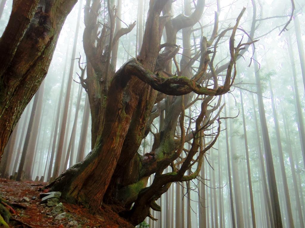まるで歴史の生き証人のような巨木に出会う