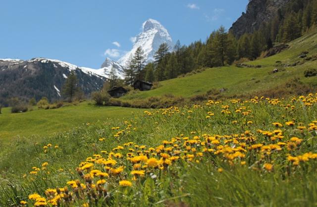 お花畑と白く輝くマッターホルン