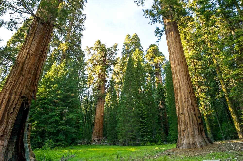 ジャイアント・セコイアの巨木を散策