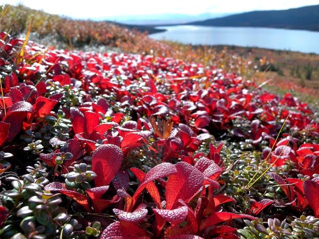 ツンドラの草もみじの紅葉が広がる秋